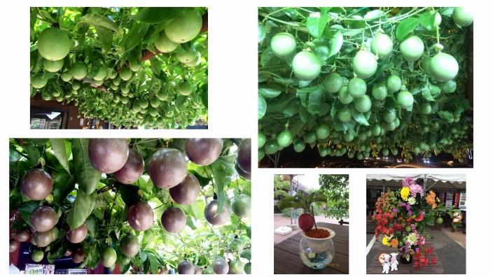 パッションフルーツの移動式緑化