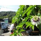地方発送用 パッションフルーツの緑のカーテン